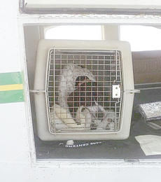 "<div class=""source""></div><div class=""image-desc"">The first dog transported to a rescue group via airplane leaves the Taylor County Airport.</div><div class=""buy-pic""></div>"