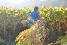 """<div class=""""source"""">Leslie Moore</div><div class=""""image-desc"""">Steve Edwards uses a hatchet to cut the stalks of tobacco.</div><div class=""""buy-pic""""><a href=""""/photo_select/40561"""">Buy this photo</a></div>"""