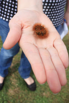 "<div class=""source"">Brent Schanding</div><div class=""image-desc"">Wooly worms like this one have been credited with predicting weather, though some experts doubt their accuracy.</div><div class=""buy-pic""></div>"