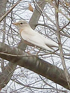 "<div class=""source""></div><div class=""image-desc"">Campbellsville resident Christopher Carney saw this albino robin in his yard on Sunnyhill Drive recently.</div><div class=""buy-pic""><a href=""http://web2.lcni5.com/cgi-bin/c2newbuyphoto.cgi?pub=085&orig=albino_robin_color.jpg"" target=""_new"">Buy this photo</a></div>"