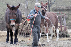 """<div class=""""source"""">Leslie Moore</div><div class=""""image-desc"""">Local sheep and beef producer Henry Lee Colvin leads his mules, which he uses to guard against coyotes, around the field.</div><div class=""""buy-pic""""><a href=""""/photo_select/48430"""">Buy this photo</a></div>"""