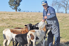 """<div class=""""source"""">Leslie Moore</div><div class=""""image-desc"""">Henry Lee Colvin feeds some of his registered Dorper and Katahdin sheep on his farm off Feather Creek Road. The sheep depend on donkeys and mules to protect them from coyotes.</div><div class=""""buy-pic""""><a href=""""/photo_select/48431"""">Buy this photo</a></div>"""