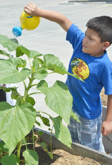 "<div class=""source"">Calen McKinney</div><div class=""image-desc"">Pedro Escamilla, 6, waters a garden bed. Escamilla lives in Indiana but was in Campbellsville last week visiting family.</div><div class=""buy-pic""><a href=""/photo_select/54250"">Buy this photo</a></div>"
