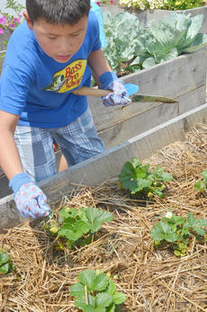 "<div class=""source"">Calen McKinney</div><div class=""image-desc"">Pedro Escamilla, 6, gets some weeds out of a garden bed. Escamilla lives in Indiana but was in Campbellsville last week visiting family.</div><div class=""buy-pic""><a href=""/photo_select/54238"">Buy this photo</a></div>"