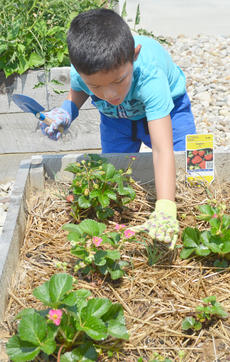 "<div class=""source"">Calen McKinney</div><div class=""image-desc"">Marco Escamilla, 5, gets some weeds out of a garden bed. Escamilla lives in Indiana but was in Campbellsville last week visiting family.</div><div class=""buy-pic""><a href=""/photo_select/54239"">Buy this photo</a></div>"