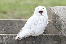"""<div class=""""source"""">Jeff Moreland</div><div class=""""image-desc"""">This Snowy Owl has been in Taylor County for several weeks now, according to local residents. Bird experts in Louisville say they are amazed it has stayed this long, and think it will likely head back to northern Canada before long.</div><div class=""""buy-pic""""><a href=""""/photo_select/66732"""">Buy this photo</a></div>"""