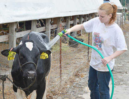 Brandy Florom of Glasgow makes sure her dairy cow is clean before the competition.