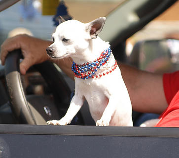 This little dog was dressed in patriotic red and blue beads during the Fourth of July parade in Campbellsville.