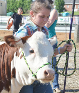 Chloe McCubbin walks into the ring as she competes in the fair's beef show.