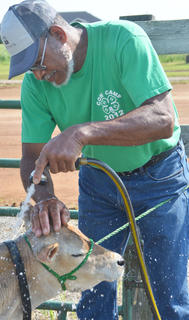 Wayne Thomas of Campbellsville washes a cow before the start of Saturday's competition.