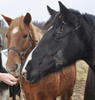 Tennessee Walking Horses Stuffy, left, and Blue Diamond, right, sniff the treats in their owner Deb Straley's hand.