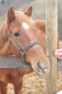 Stuffy, an 18-year-old Tennessee Walking Horse, is impatient for more treats from his owner Deb Straley.