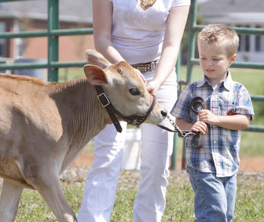 Ben Carrender, 3, of Campbellsville, shows his Jersey calf, Sunny, in the Open Dairy Show at the Taylor County Fair on Saturday.