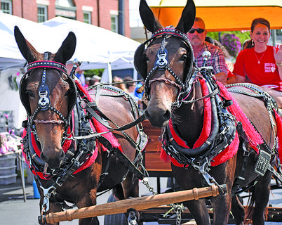A team of mules heads down Main Street near the end of the parade.