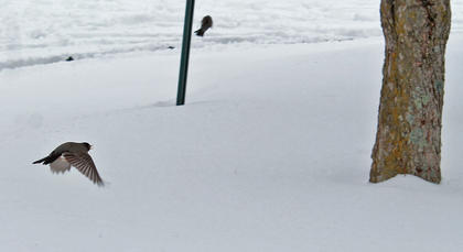 A robin flies in a Campbellsville University parking lot on Thursday afternoon.