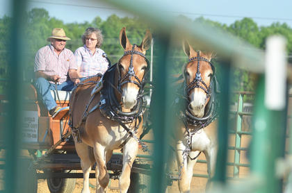 Donald and Ellen Goff of Campbellsville participate in the pleasure driving class at this year's Tommie Johns Memorial Championship Horse show at the fair on Saturday.